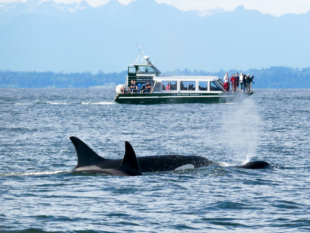 Transient Orcas surfacing. Photo by Jenna Keen.