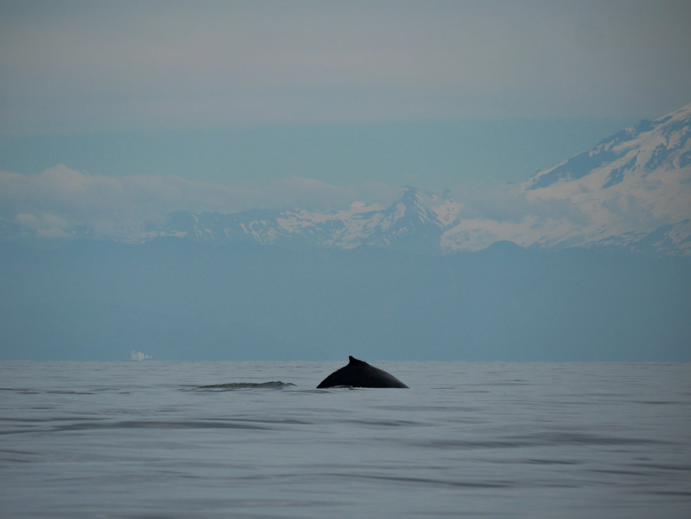 Humpback going for a dive in the Salish Sea. Photo by Val