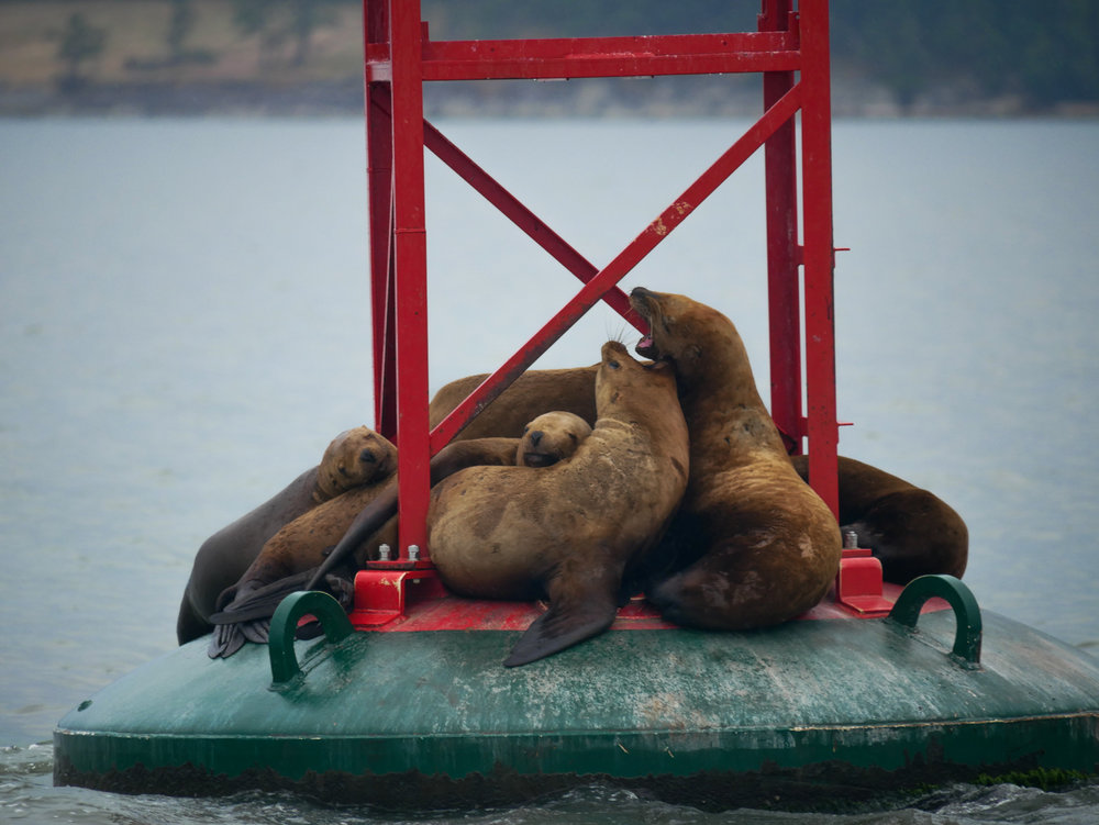 Steller Sea Lions hauled out on an UM Buoy, growling away while other sleep peacefully. Photo by Val Watson.