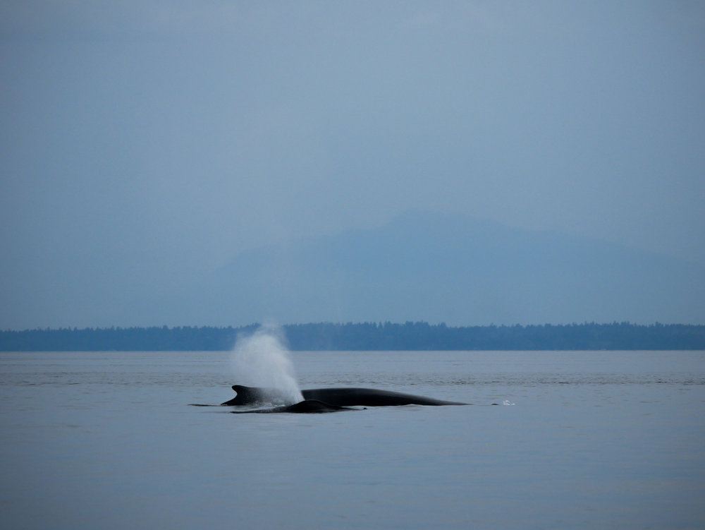 Did you know a humpbacks blow can reach 12 ft in height? Crazy! Photo by Val Watson.