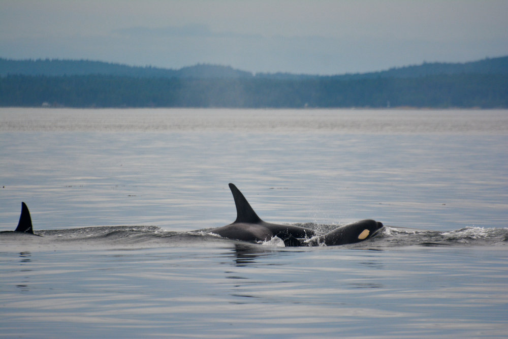 Check out the yellow tint on the young orca surfacing! Photo by Rodrigo Menezes.