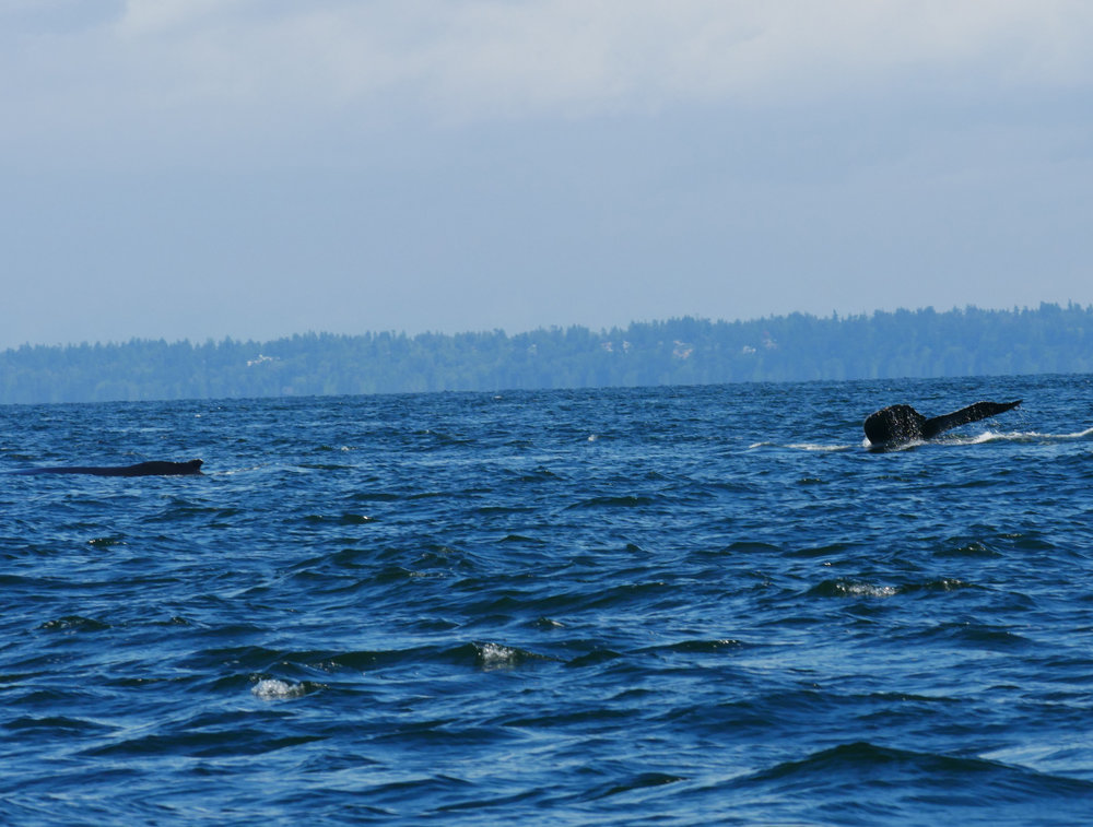 Fluke of Raptor (right) and dorsal fin on Heather (left). Photo by Alanna Vivani.