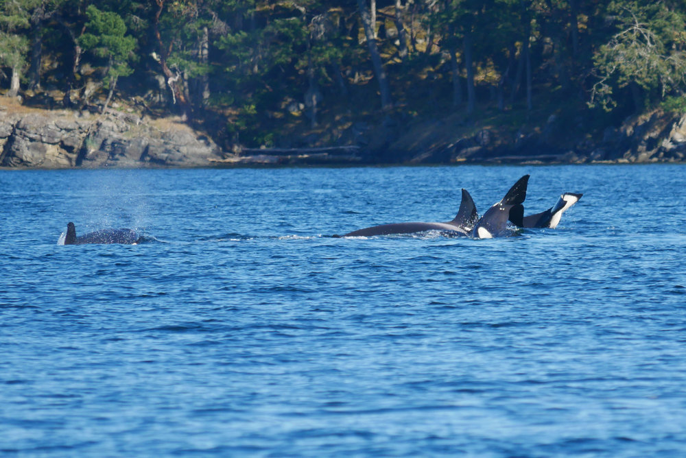 Excellent example of surface activity during the hunt. From left to right we have; orca coming up for air, orca doing a deep dive, and two tail slaps. Photo by Alanna Vivani.