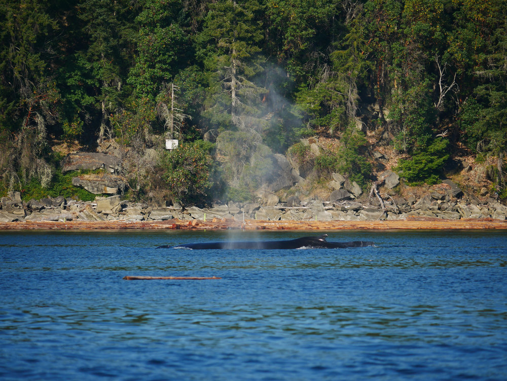 Humpback blow lingering in the air! Photo by Val Watson