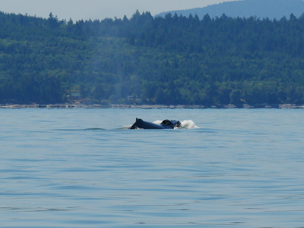 A great picture of a humpback whale lunging forward. You can see right up her nose! Photo by Jenna Keen