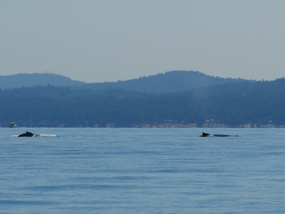 Duel surface of the humpback off of Galiano Island. Photo by Jenna Keen.