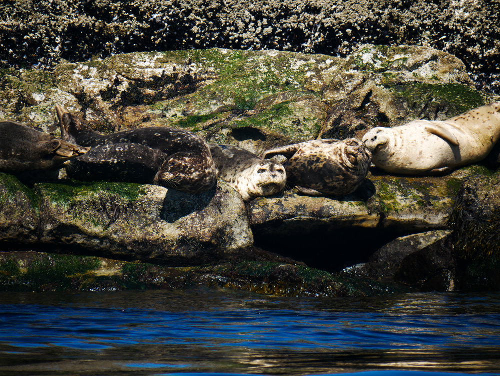 Some adorable but lazy harbour seals hauled out on the rocks. Photo by Alanna Vivani