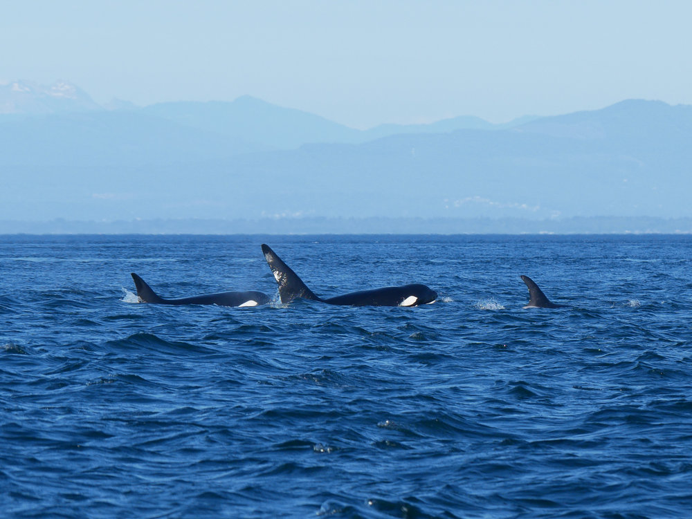 T46 (left) and her son T46E (middle) and her other offspring (right) who is too young to determine gender, T46F. You can really see the size difference between the males fin and the female. Photo by Alanna Vivani