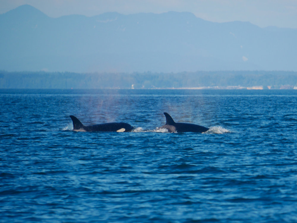 Two members surfacing in the strait! Photo by Jenna Keen.