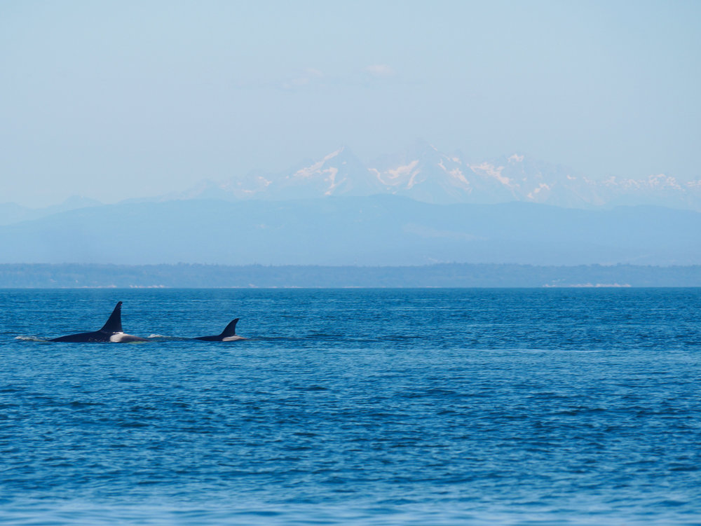 T46D (left) surfacing just in front of another member of the pod. Photo by Jenna Keen.