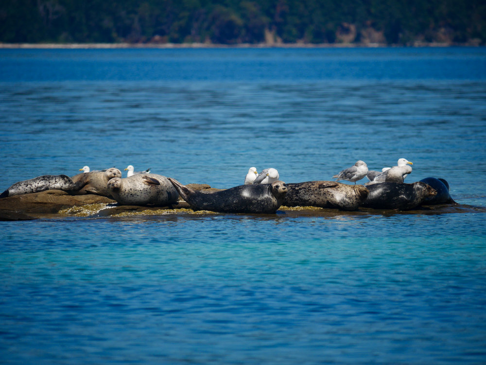 Harbour seals taking in the afternoon sun. Photo by Alanna Vivani.