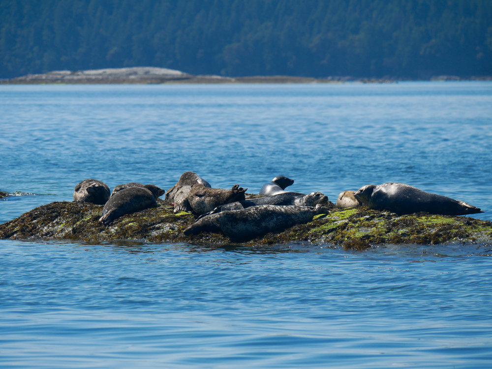 Our spotted friends, the harbour seals enjoying a morning nap. Photo by Val Watson.