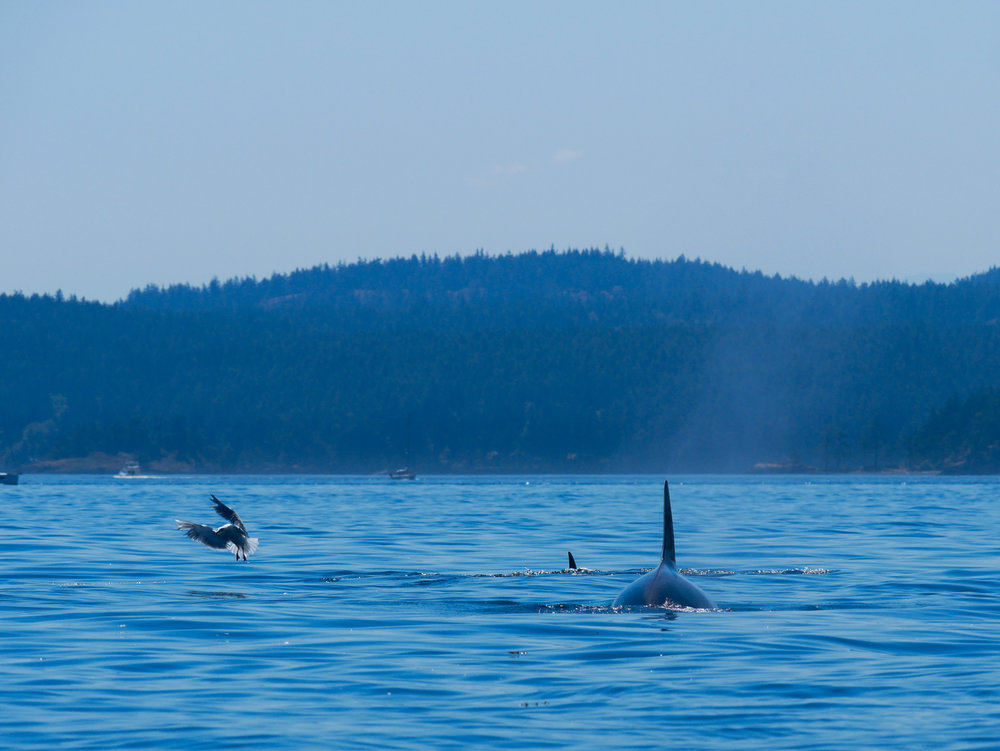 A seagull scrambling to fly off as an orca surfaces. Photo by Val Watson.