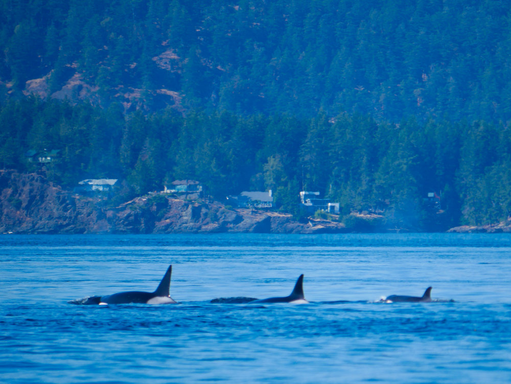 Uno, dos, tres: three orcas surfacing one after another almost in unison! Photo by Val Watson.