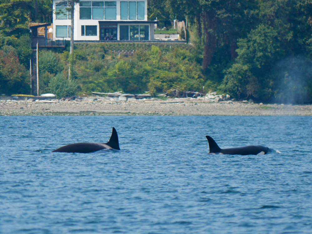 Two orcas showing different stages of surfacing. Photo by Val Watson.