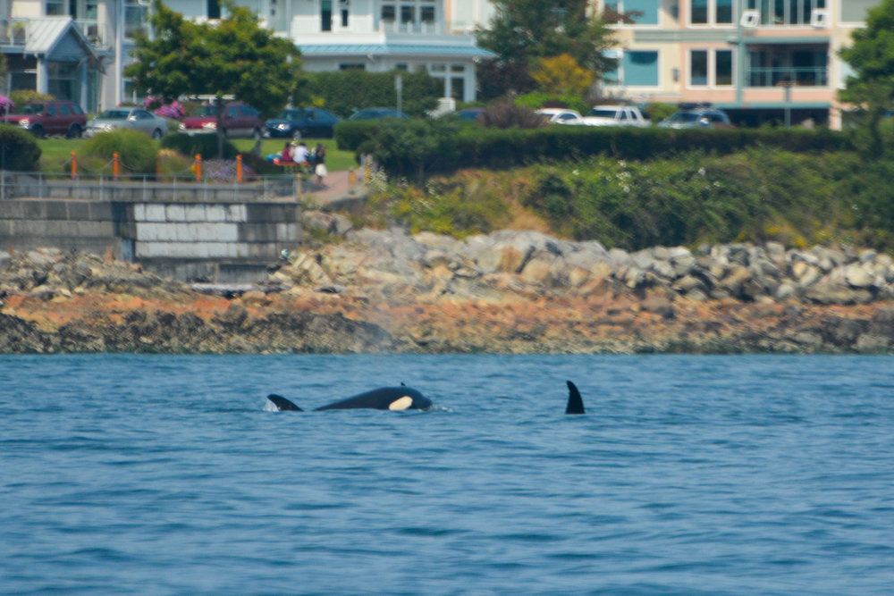 You can see T99B's dorsal fin to the right as another member surfaces to the left! Photo by Rodrigo Menezes.