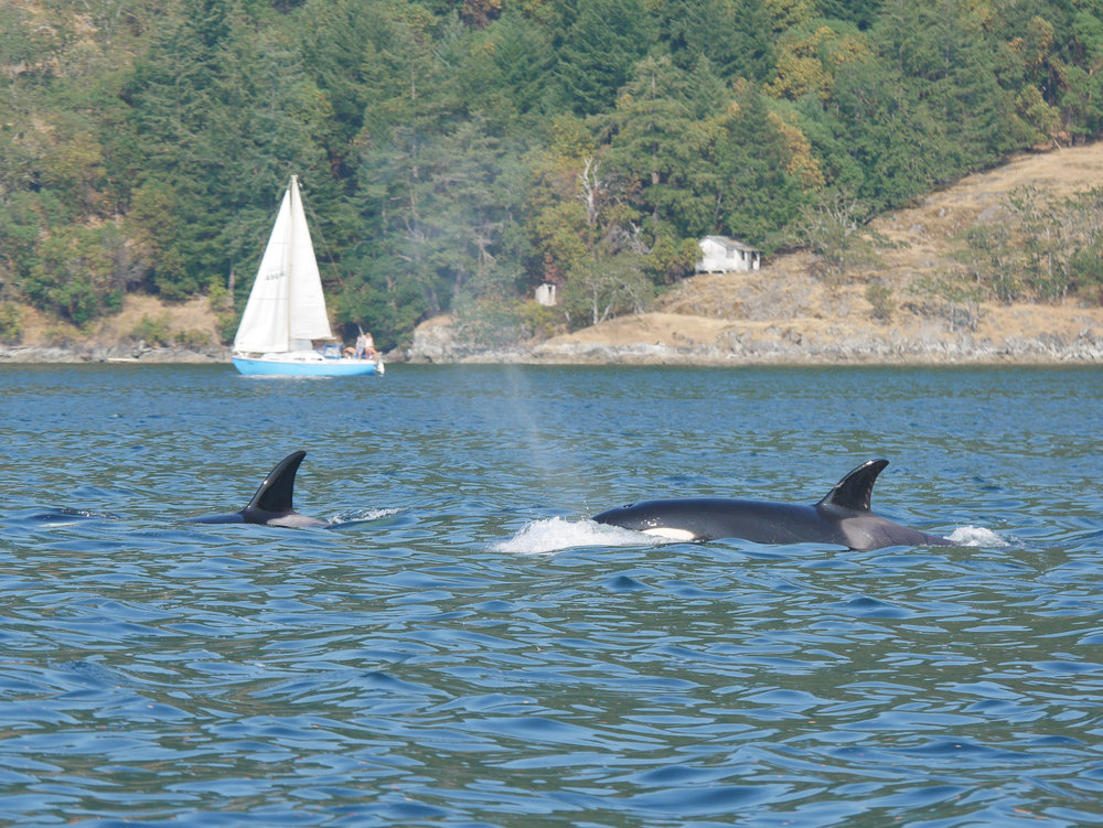 Can you see some of the scarring behind the saddle patch on the orca to the right? Photo by Val Watson.