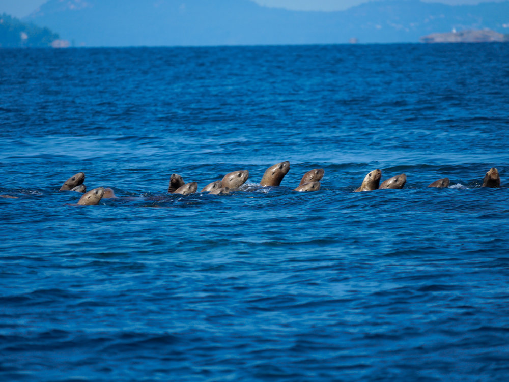 A bunch of sea lions in the water - you're looking at a raft! Photo by Alanna Vivani.