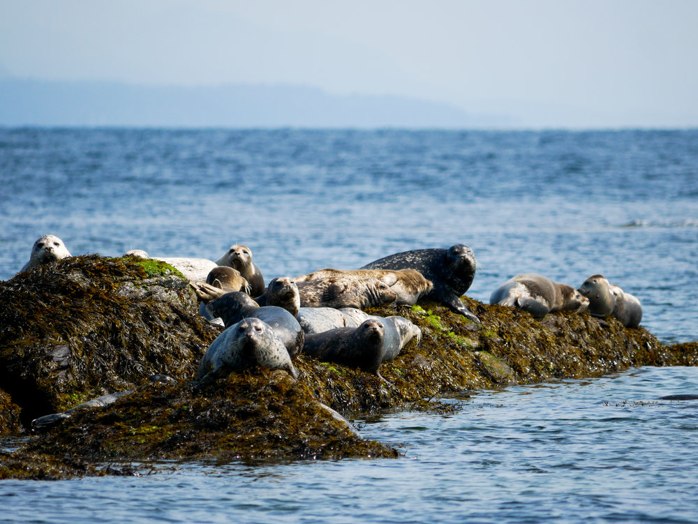 Harbour seals taking a well deserved (?) rest on a hot summers day. Photo by Alanna Vivani.