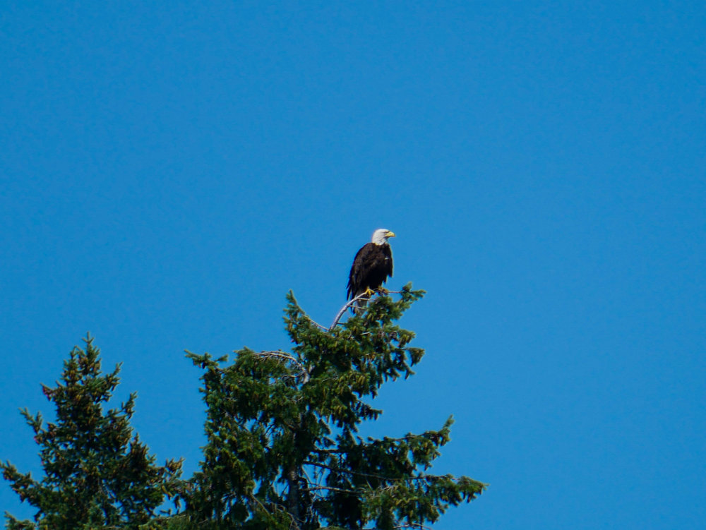 Bald eagle perched on the top of a tree, look how thin the branch looks beneath its talons! Photo by Alanna Vivani.