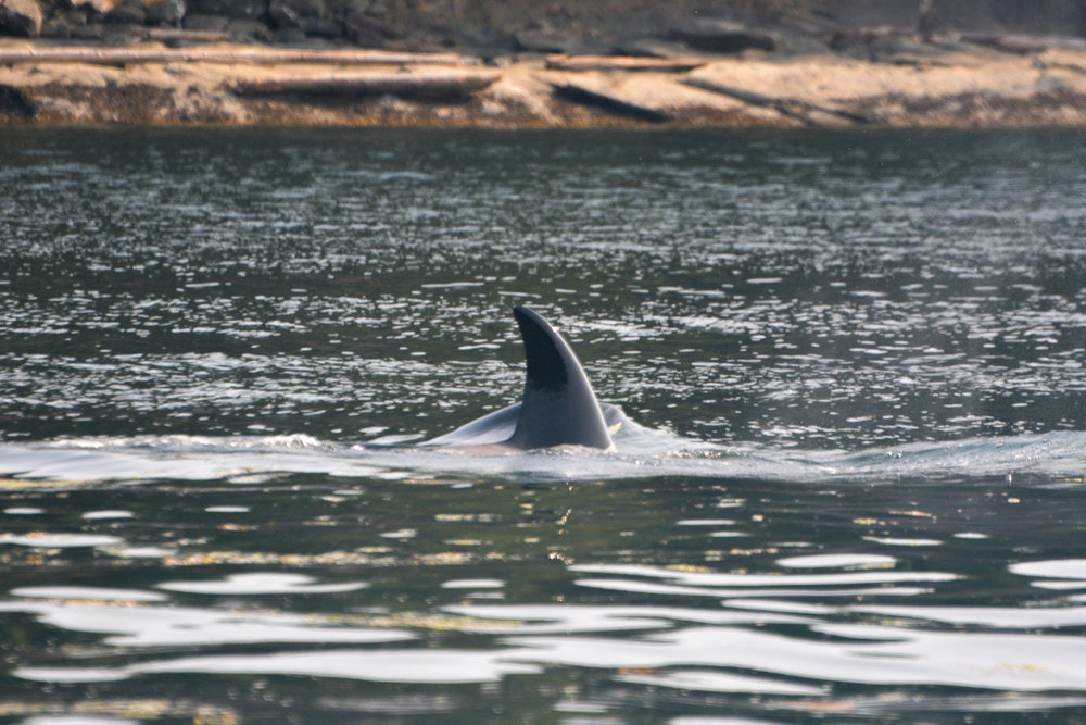 Check out the orca in the back surfacing, hasn't broken the water line yet and it looks so cool. Photo by Val Watson.
