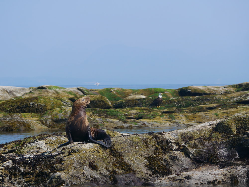 Steller sea lion hauled out on a rock. Photo by Rodrigo Menezes.