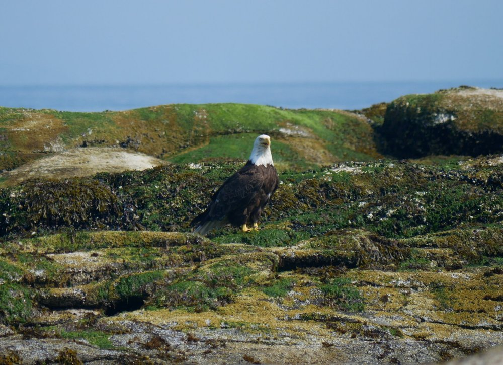 A Bald eagle watching all the sea lions at entrance island. Photo by Rodrigo Menezes.
