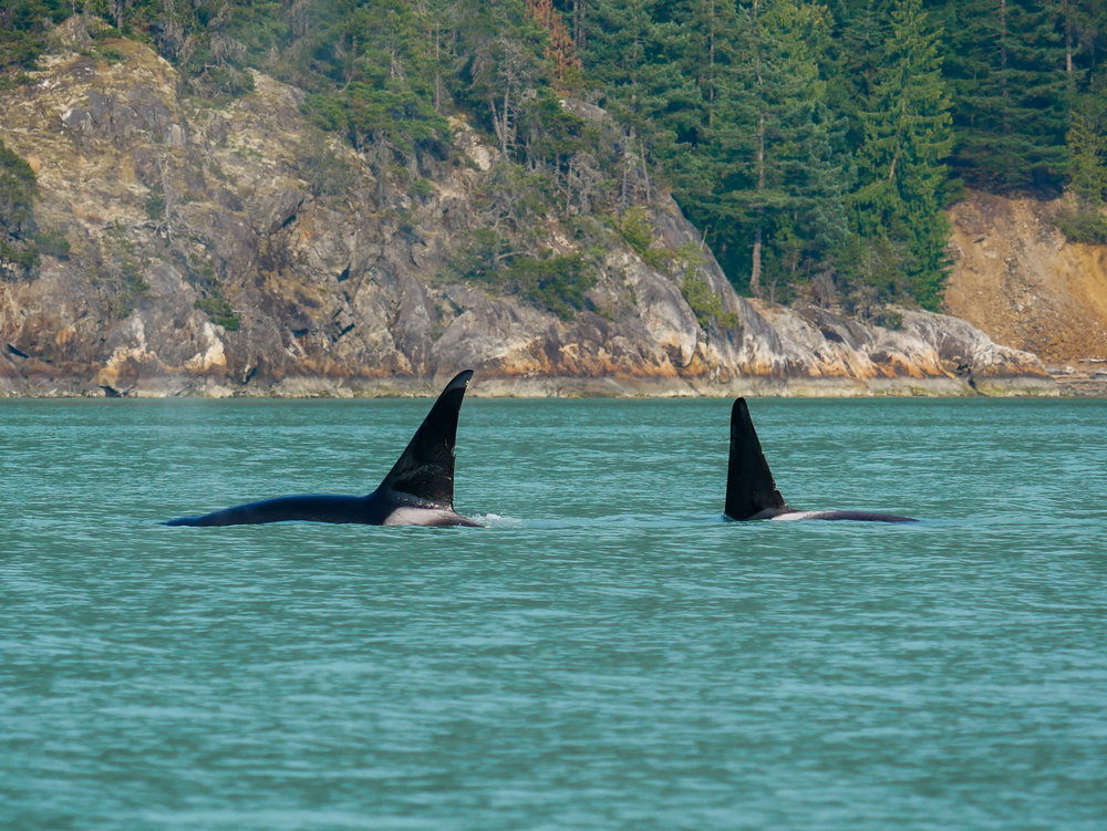 T46E (left) and T137A (right) surfacing, displaying their unique nicks! Photo by Alanna Vivani.