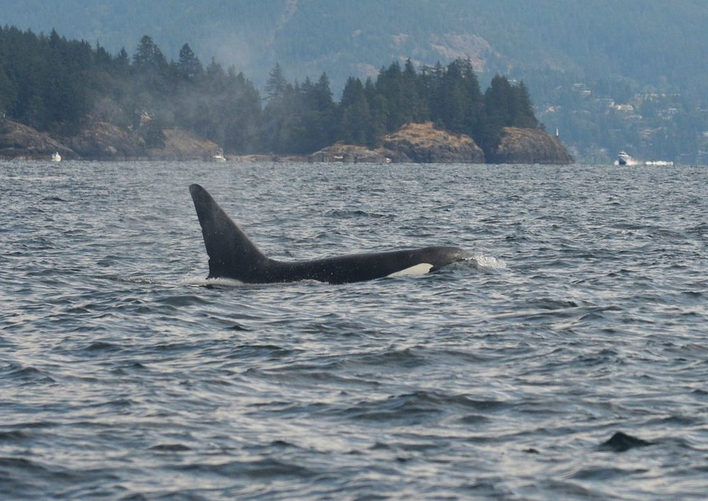 "This male is called ""Jack,"" also known as T137A, who was seen surfacing near Bowen Island. Photo by Jenna Keen."