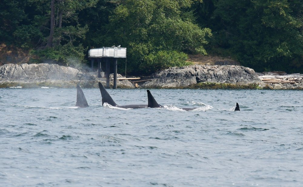 Four orcas surfacing simultaneously, could it get any better? Photo by Jilann Campbell.