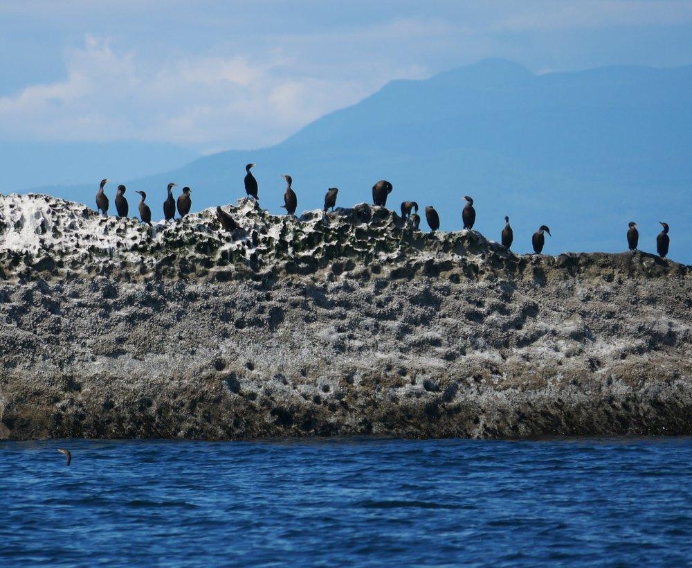 Cormorants taking in some sun near Gabriola Island. Photo by Rodrigo Menezes.