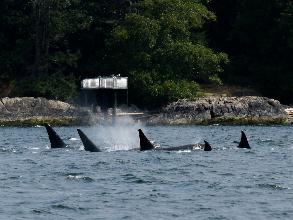 Always a treat when the orcas surface together, check out this shot of 5 pod members up at the same time! Photo by Jilann Campbell.