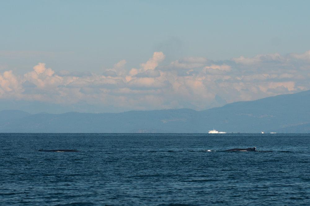 Two humpbacks surfacing simultaneously. Photo by Jenna Keen.
