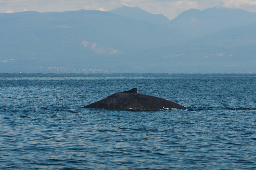 The dorsal fin of a humpback as it surfaces. Photo by Jenna Keen.