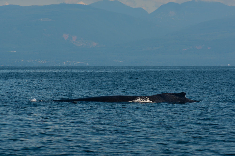 Get a load of that humpback length! You can see where the blowhole is in relation to the dorsal fin. Photo by Jenna Keen.