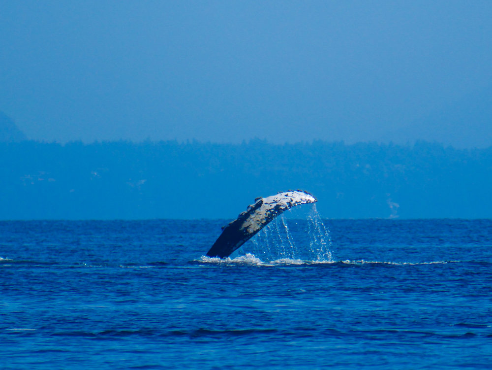 What a fun shot!! That massive pectoral fin popping out of the water for a wave. Photo by Val Watson.