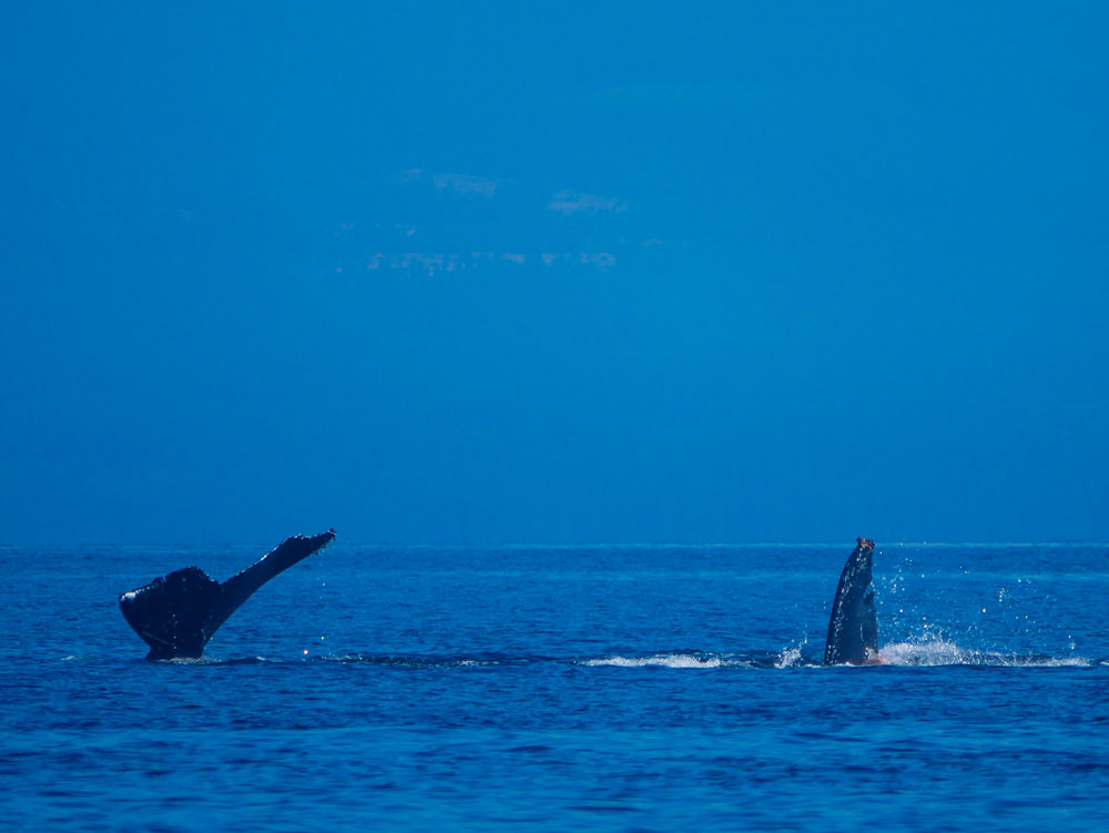 Zorro (left) showing off the fluke and a sneak peek at a pectoral fin on the right. Photo by Val Watson.