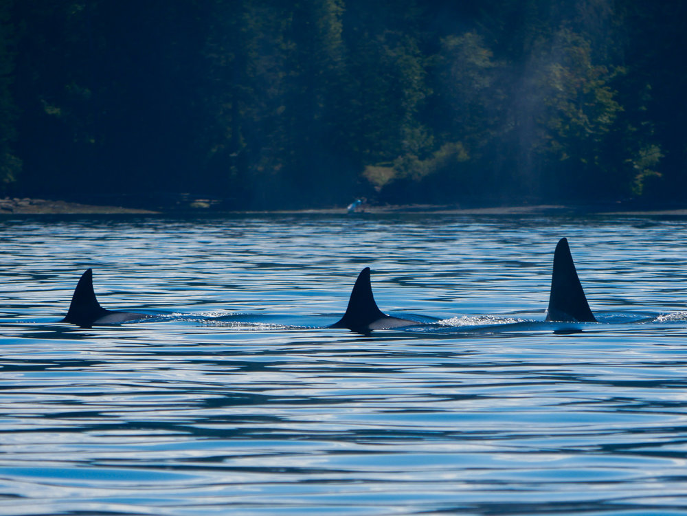 Three members from T19 pod surfacing together. Photo by Jenna Keen.