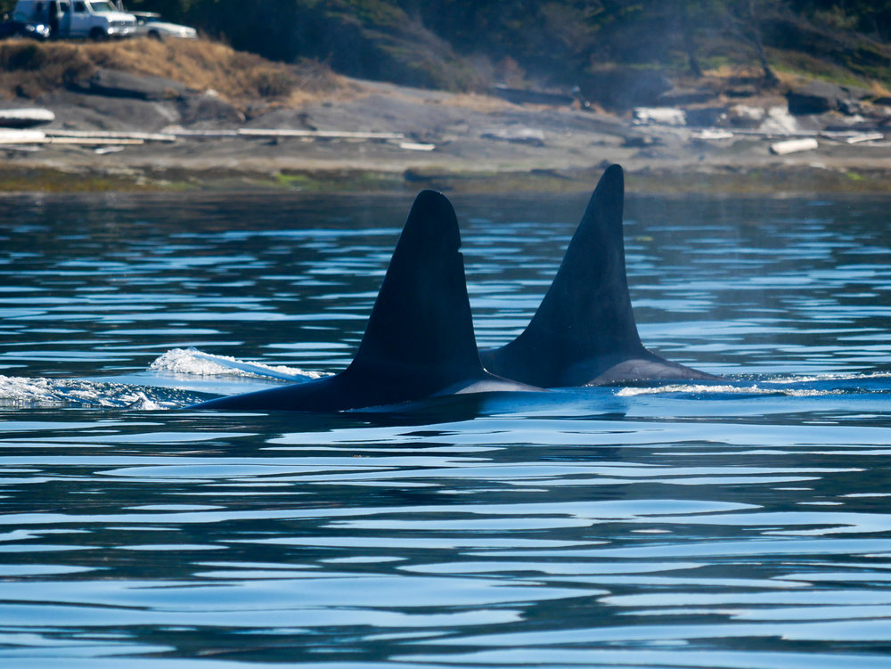 T19B (left) and T19C (right) surfacing together. Photo by Jenna Keen.