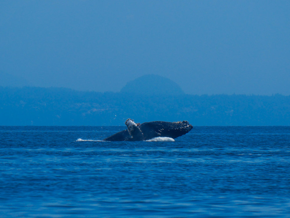 The tail end of a breach by this gentle giant! Photo by Val Watson.