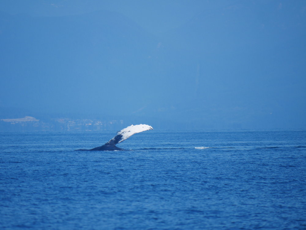 Mid pectoral slap with another humpback! Photo by Val Watson.