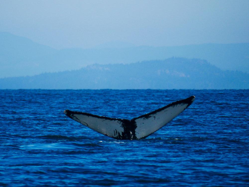 Anvil the humpback. Photo by Alanna Vivani 10:30 tour