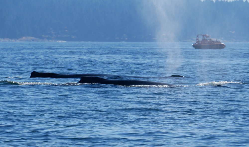 Two surfacing humpbacks just they exhaled. Photo by Alanna Vivani.