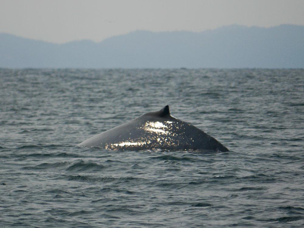 A humpback whale surfaces near Snake Island. Photo by Alanna Vivani