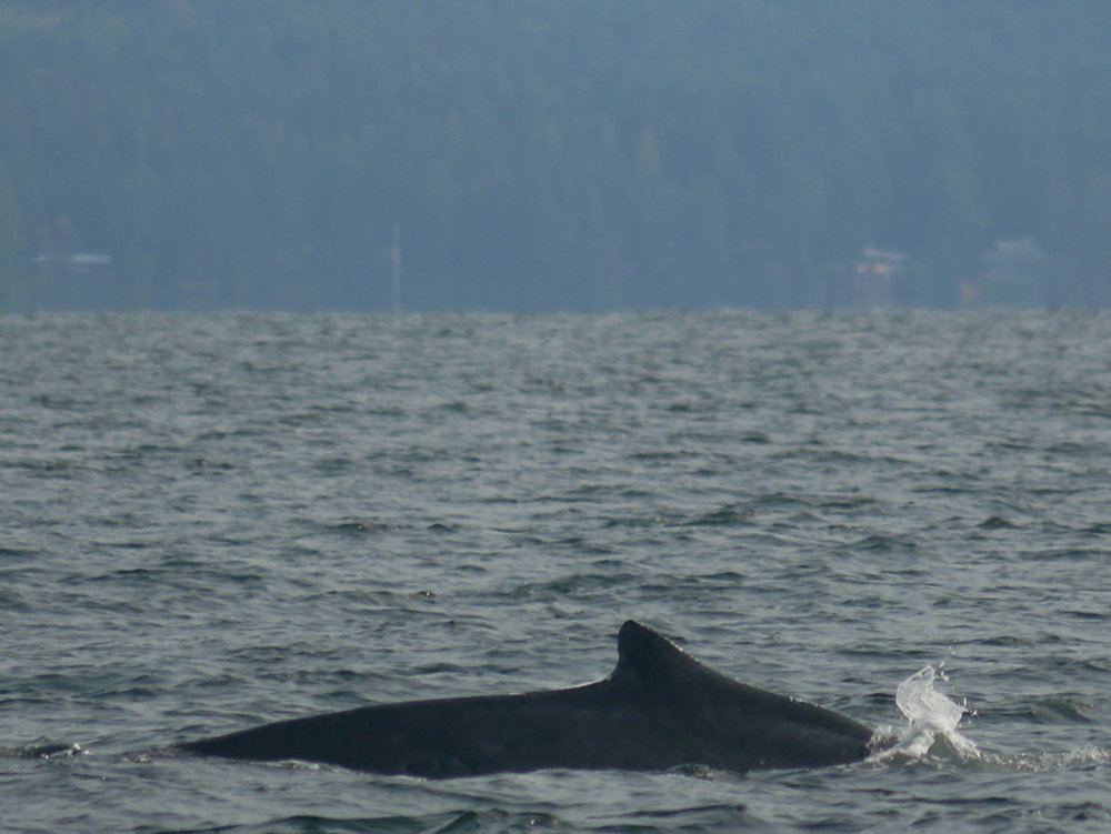 Dorsal fins help us to identify whales and become particularly helpful if the whale isn't fluking! Photo by Alanna Vivani