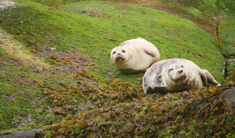 A couple of Pacific harbour seals hanging out in the intertidal zone. Photo by AlannaVivani