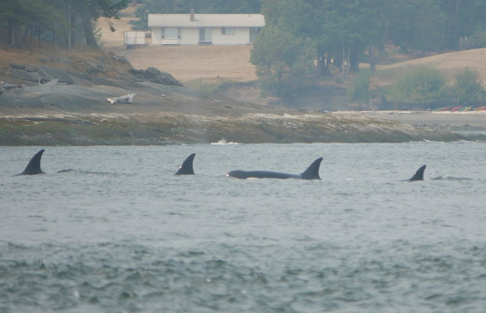 Travelling together. You can check out those nicks on the dorsal fins. Photo by Val Watson.