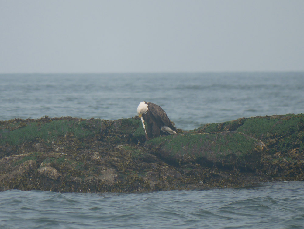 Bald Eagle munching on some scraps. YUMMY! Photo by Val Watson.