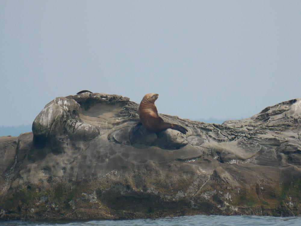 Steller Sea Lion on a rock. Photo by Alanna Vivani.