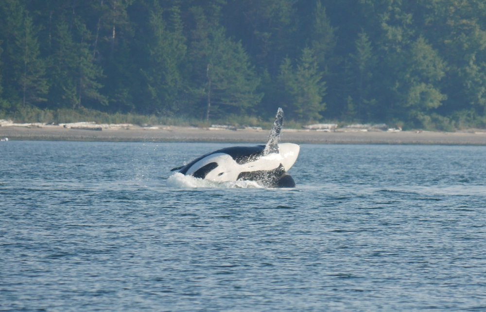 A breaching orca in front of the beach! Photo by Jenna Keen.